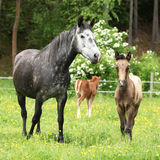 Beautiful mare with foal Stock Image