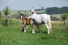 Beautiful mare with foal Royalty Free Stock Photo
