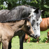 Beautiful mare with foal Stock Photo