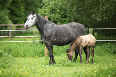 Beautiful mare with foal Royalty Free Stock Photos