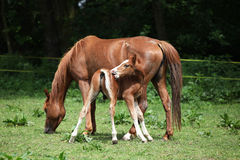 Beautiful mare with foal Royalty Free Stock Image