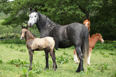 Beautiful mare with foal. Beautiful mare with its foal standing together on pasturage Stock Image