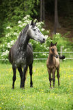 Beautiful mare with foal Stock Photos