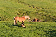 Beautiful mare with foal on pasture. Sunny afternoon on green mountain plateau. Wild horses - mare with her foal on pasture Stock Photo