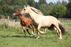 Beautiful mare with foal running Stock Photos