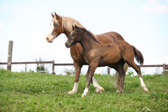 Beautiful mare with foal running Stock Images