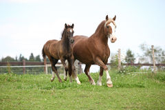Beautiful mare with foal running Stock Photography