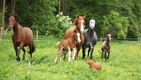 Beautiful mare and foal running with their herd Royalty Free Stock Images