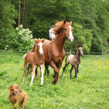 Beautiful mare and foal running with their herd Royalty Free Stock Photography