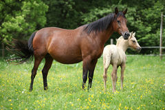Beautiful mare with its foal on pasturage Royalty Free Stock Image