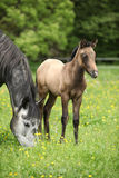 Beautiful mare with its foal on pasturage Royalty Free Stock Images