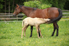 Beautiful mare with its foal on pasturage Royalty Free Stock Photo
