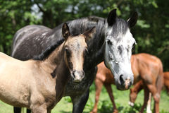 Beautiful mare with its foal on pasturage Royalty Free Stock Photography