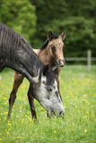 Beautiful mare with its foal on pasturage Stock Images