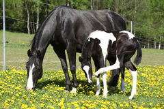 Beautiful mare with little foal on spring pasturage Stock Images
