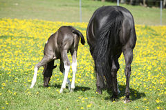 Beautiful mare with little foal on spring pasturage Stock Photos