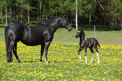 Beautiful mare with little foal on spring pasturage Royalty Free Stock Photo