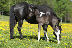 Beautiful mare with little foal on spring pasturage Stock Image