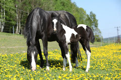 Beautiful mare with little foal on spring pasturage Royalty Free Stock Images