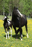 Beautiful mare with little foal on spring pasturage Stock Photography