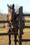 Beautiful mare looking over wooden rustic fence on a cold winter Stock Image