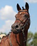 Beautiful mare Royalty Free Stock Photo
