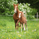 Beautiful mare running with foal Royalty Free Stock Photos