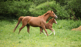 Beautiful mare running with foal Stock Photo