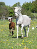 Beautiful mare running with its foal Stock Photos