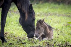 Mother welcoming a newborn foal stock photography