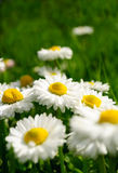 Beautiful Marguerite Daisies in Grass Royalty Free Stock Photo