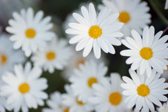 Beautiful marguerite flowers Royalty Free Stock Photography