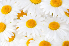 Beautiful marguerite flowers Stock Photos