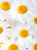 Beautiful marguerite flowers Stock Photo