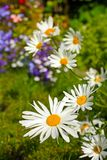 Beautiful marguerites Royalty Free Stock Images