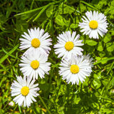 Beautiful marguerites Royalty Free Stock Image