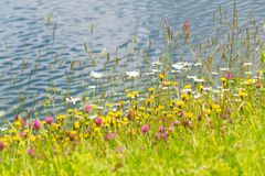 Beautiful marguerites and other wildflowers on bank of Alps lake. Beautiful marguerites and other wildflowers on bank of pure lake in Alps, Austria, peaceful royalty free stock image