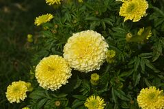 Free Beautiful Marigold Blooming In The Garden Stock Photography - 173338892