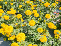 Beautiful marigold flower blossom in agriculture flower farm Stock Image