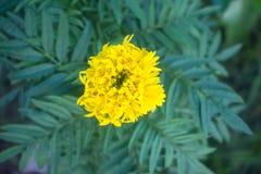 Beautiful marigold flowers royalty free stock photo