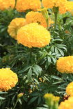 Beautiful Marigold Flowers in the Garden. Stock Images