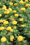 Beautiful Marigold Flowers in the Garden. stock photography