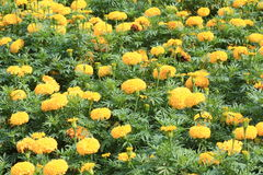 Beautiful Marigold Flowers in the Garden. royalty free stock image
