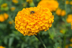 Beautiful marigold flowers. In garden Stock Image