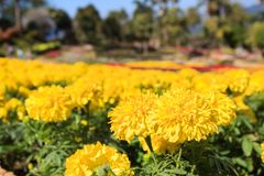Beautiful marigold flowers in garden of Doi Tung Royal Villa. Stock Photography