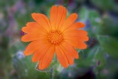 Beautiful marigolds Calendula royalty free stock photography
