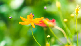 The beautiful Marigolds garden and bee Royalty Free Stock Images