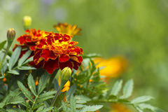 Beautiful Marigolds (tagetes patula) Royalty Free Stock Photo