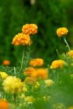 Beautiful Marigolds (tagetes) Royalty Free Stock Photo