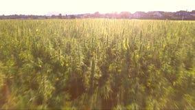 Aerial fly over of a beautiful marijuana CBD hemp field with strong sun flare. cannabis used in medicine